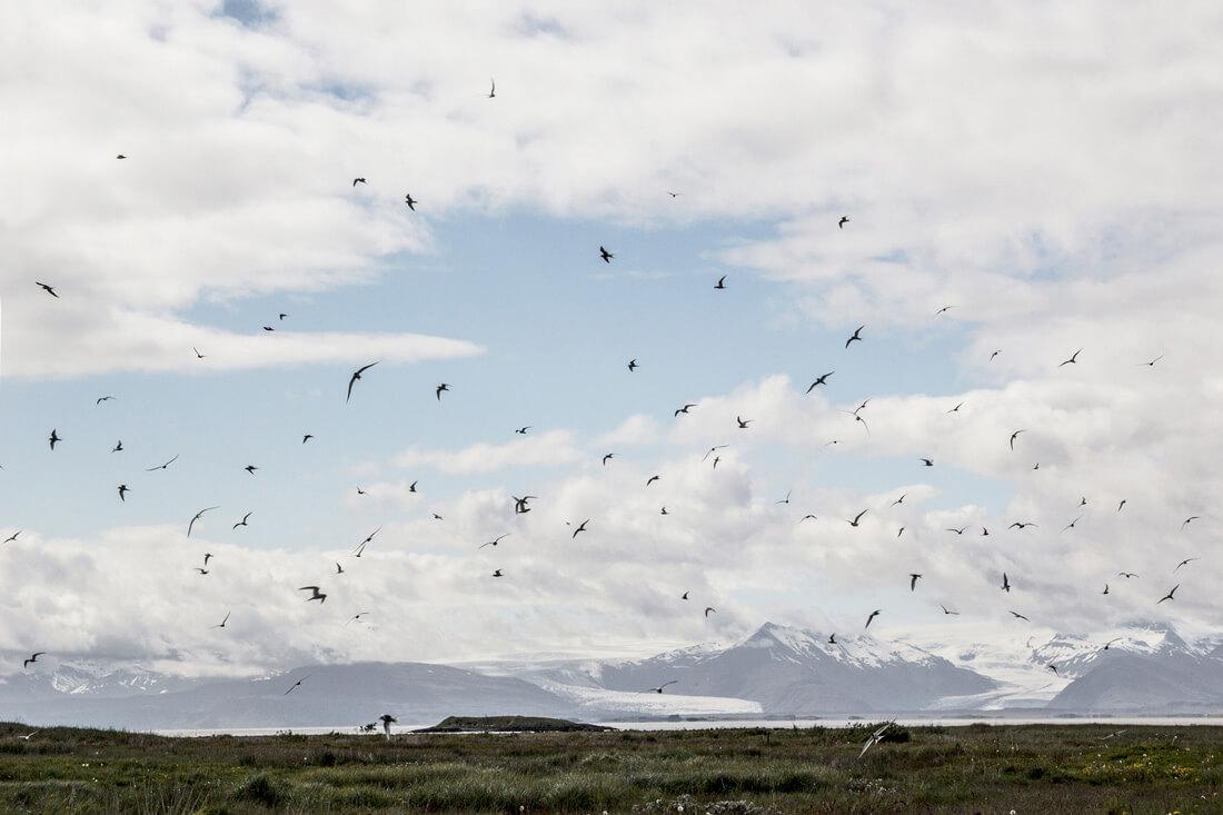 Ptaki w Islandii