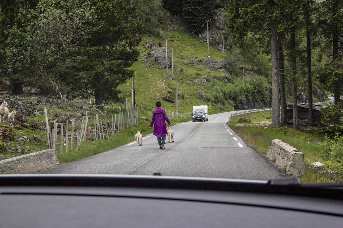 Norwegia autostop owce