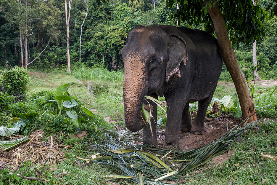 Tajlandia Koh Chang slon