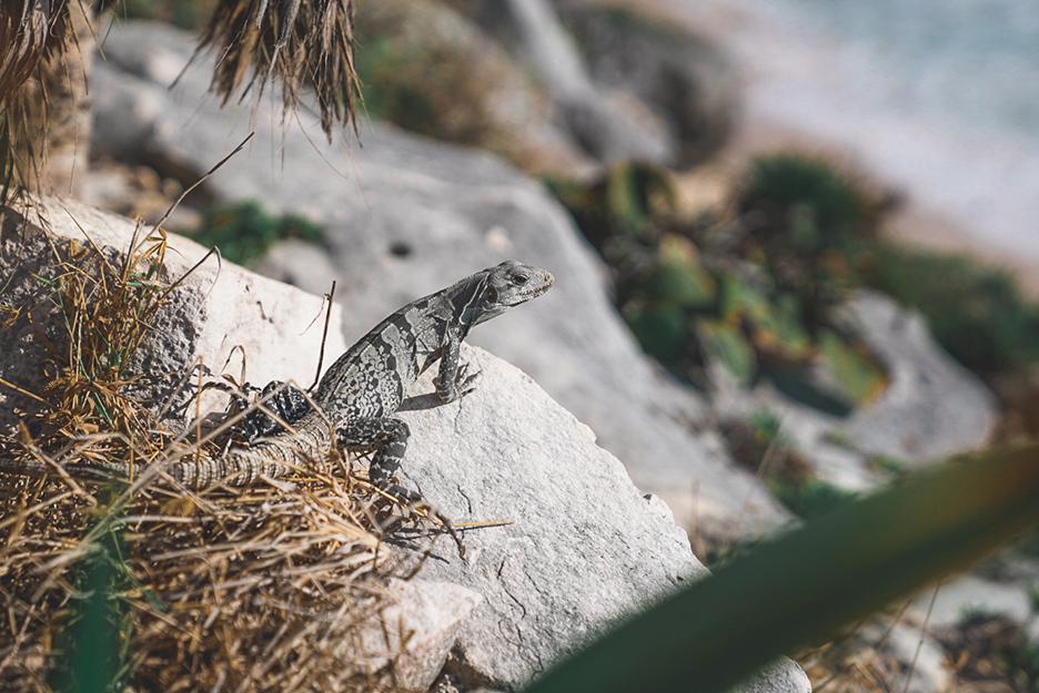 Strefy archeologiczne na Jukatanie: iguana w Tulum