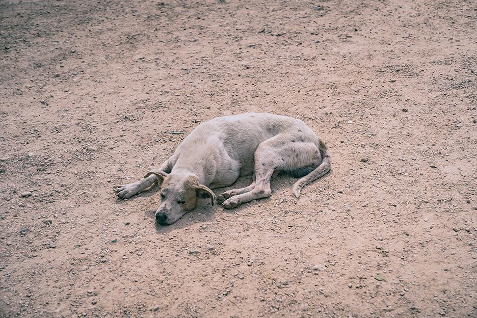 Pies w Chichen Itza