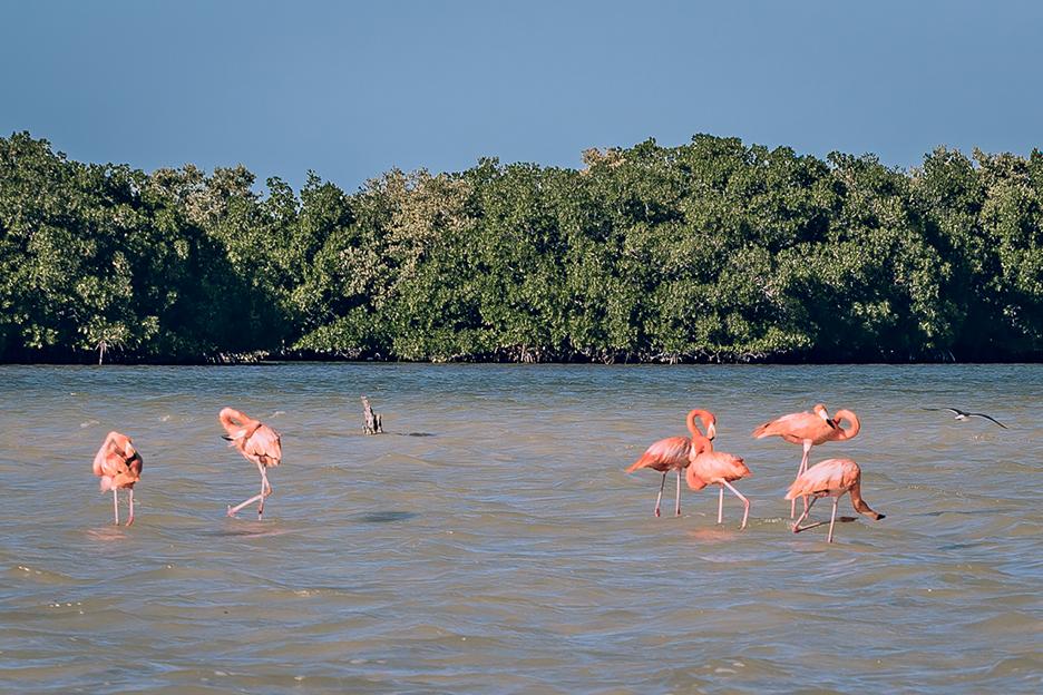 Jukatan, Ría Lagartos: flamingi