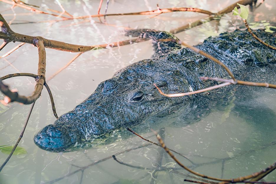 Jukatan, Ría Lagartos: krokodyl