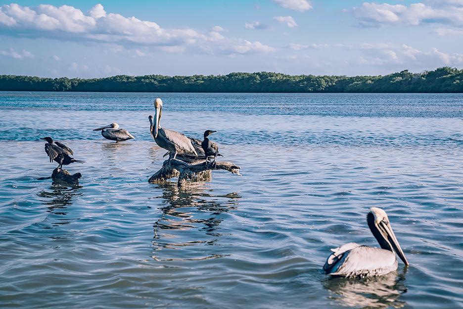 Jukatan, Ría Lagartos: pelikany