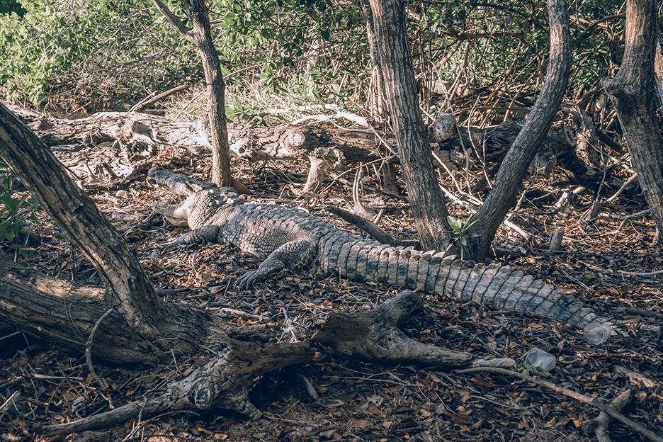 Meksyk, Jukatan: krokodyl
