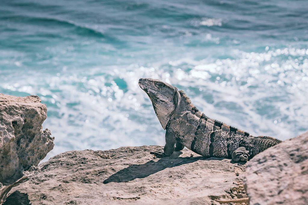 Meksyk, Wyspa Kobiet, iguana