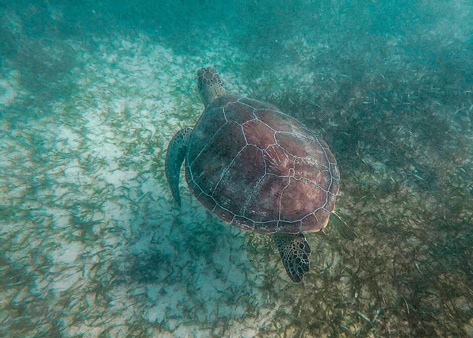 Żółwie w Akumal. Pływanie z żółwiami.
