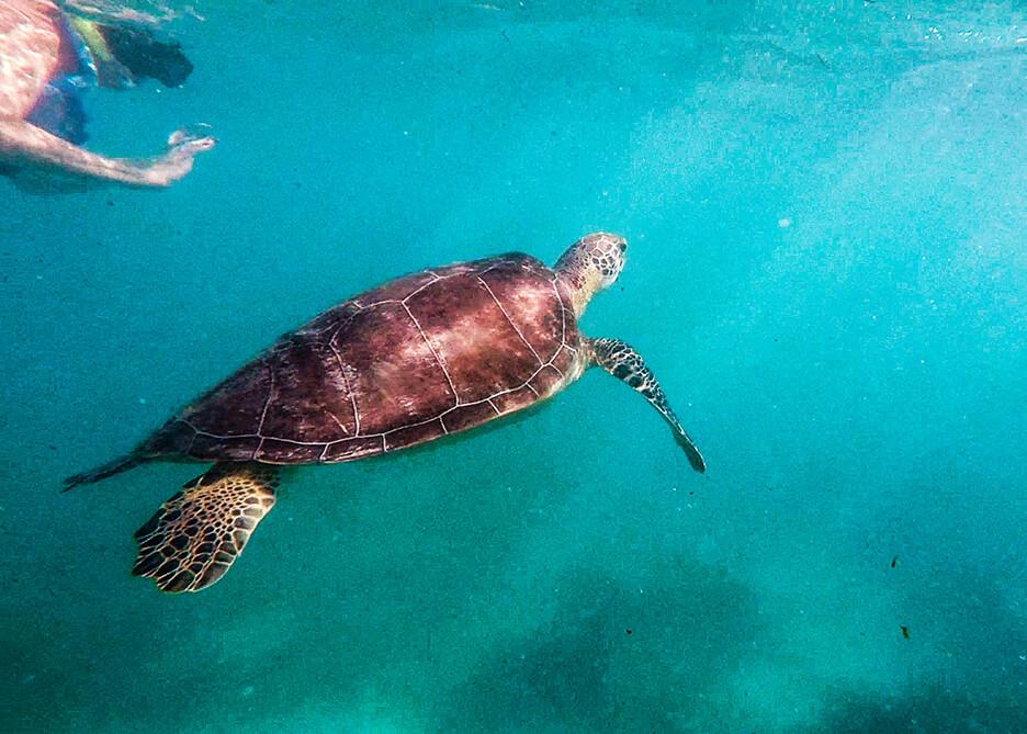 Żółwie w Akumal. Snorkeling.